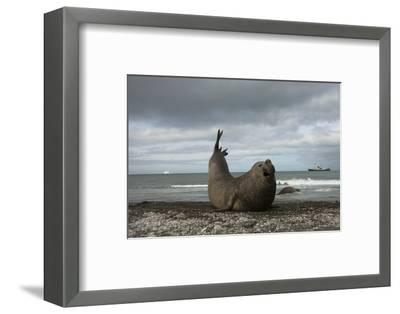 Southern Elephant Seal-Joe McDonald-Framed Photographic Print