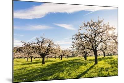 Cherry Orchard in Bloom-Frank Lukasseck-Mounted Photographic Print