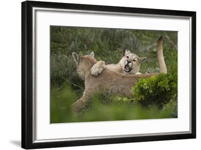 Wild Puma in Chile-Joe McDonald-Framed Photographic Print