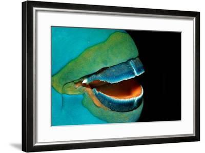 Close-Up of a Greentroat Parrotfish Mouth and Beak-Reinhard Dirscherl-Framed Photographic Print