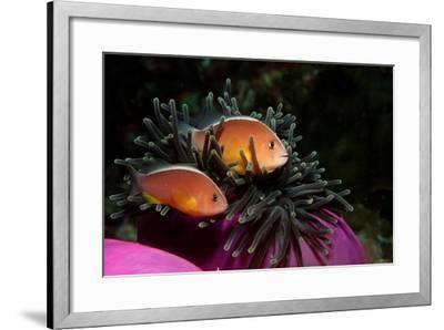 Skunk Anemonefishes (Amphiprion Sandaracinos) in a Sea Anemone, Indian Ocean, Andaman Sea.-Reinhard Dirscherl-Framed Photographic Print