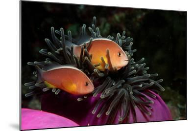 Skunk Anemonefishes (Amphiprion Sandaracinos) in a Sea Anemone, Indian Ocean, Andaman Sea.-Reinhard Dirscherl-Mounted Photographic Print