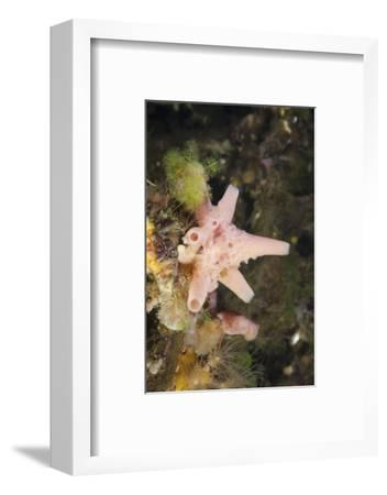 Sponge in Jellyfish Lake, Micronesia, Palau-Reinhard Dirscherl-Framed Photographic Print