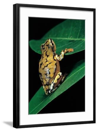 Hyperolius Puncticulatus (Spotted Reed Frog)-Paul Starosta-Framed Photographic Print