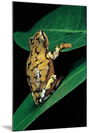 Hyperolius Puncticulatus (Spotted Reed Frog)-Paul Starosta-Mounted Photographic Print