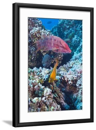 Mexican Hogfish (Bodianus Diplotaenia), Clarion Angelfish (Holacanthus Clarionensis) and Guineafowl-Reinhard Dirscherl-Framed Photographic Print