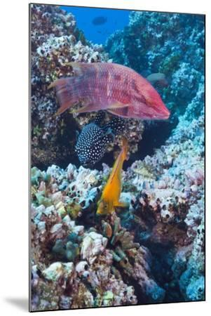 Mexican Hogfish (Bodianus Diplotaenia), Clarion Angelfish (Holacanthus Clarionensis) and Guineafowl-Reinhard Dirscherl-Mounted Photographic Print