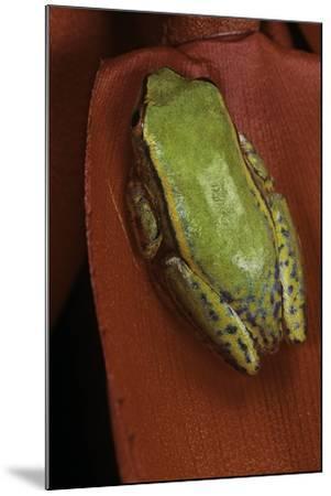 Heterixalus Betsileo (Betsileo Reed Frog)-Paul Starosta-Mounted Photographic Print
