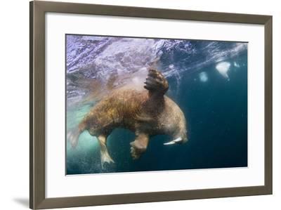 Underwater Walrus, Hudson Bay, Nunavut, Canada-Paul Souders-Framed Photographic Print