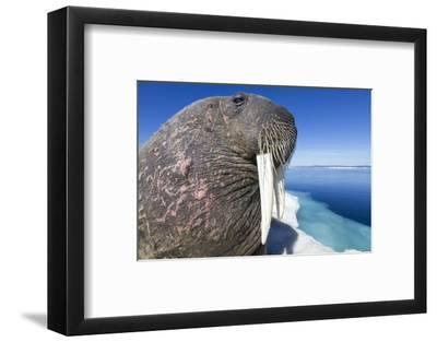 Walrus on Iceberg, Hudson Bay, Nunavut, Canada-Paul Souders-Framed Photographic Print