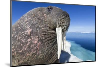 Walrus on Iceberg, Hudson Bay, Nunavut, Canada-Paul Souders-Mounted Photographic Print