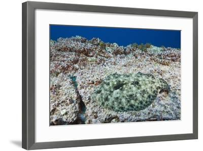 Pacific Leopard Flounder Camouflaged (Bothus Leopardinus)-Reinhard Dirscherl-Framed Photographic Print
