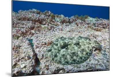 Pacific Leopard Flounder Camouflaged (Bothus Leopardinus)-Reinhard Dirscherl-Mounted Photographic Print