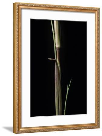 Phyllostachys Aureosulcata 'Aureocaulis' (Yellow Groove Bamboo) - Shoot-Paul Starosta-Framed Photographic Print