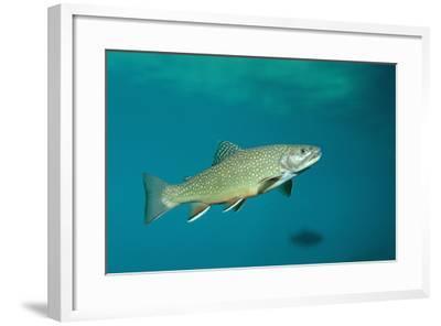 Brook Trout (Salvelinus Fontinalis).-Reinhard Dirscherl-Framed Photographic Print