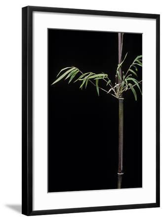 Hymalayocalamus Sp. (Bamboo)-Paul Starosta-Framed Photographic Print