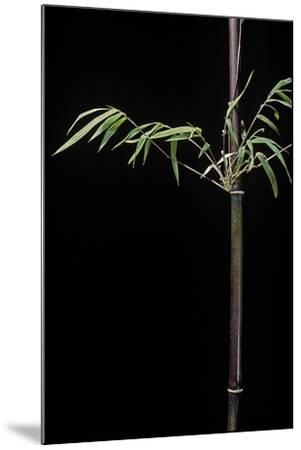 Hymalayocalamus Sp. (Bamboo)-Paul Starosta-Mounted Photographic Print