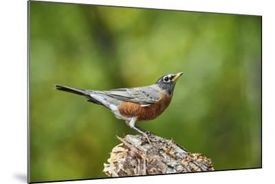 American Robin-Gary Carter-Mounted Photographic Print
