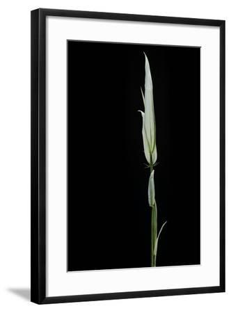 Phyllostachys Aurea 'Albovariegata' (Golden Bamboo, Fish-Pole Bamboo)-Paul Starosta-Framed Photographic Print