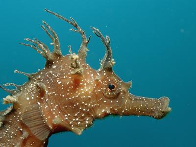 Seahorse Head (Hippocampus Guttulatus).-Reinhard Dirscherl-Framed Photographic Print
