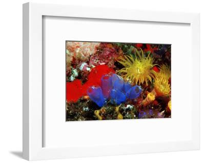 Blue Sea Squirts or Tunicates (Dendrophillia) and Yellow Cave Coral (Tubastrea)-Reinhard Dirscherl-Framed Photographic Print