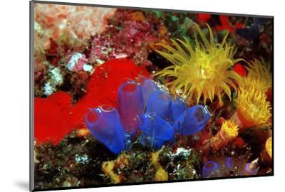 Blue Sea Squirts or Tunicates (Dendrophillia) and Yellow Cave Coral (Tubastrea)-Reinhard Dirscherl-Mounted Photographic Print