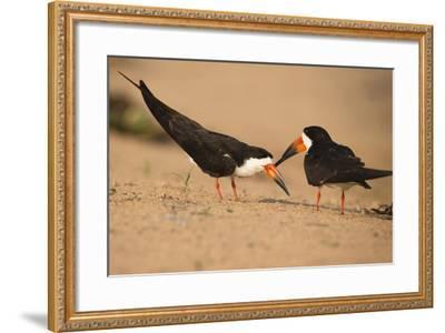 Black Skimmer-Joe McDonald-Framed Photographic Print