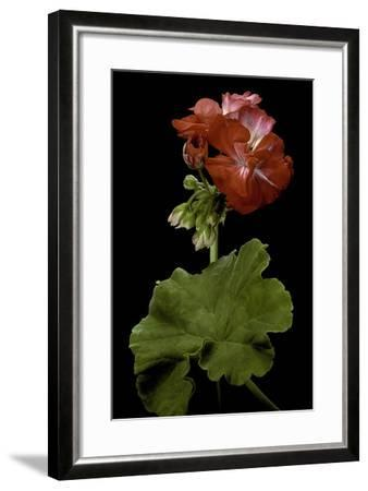 Pelargonium X Hortorum 'Corinne' (Common Geranium, Garden Geranium, Zonal Geranium)-Paul Starosta-Framed Photographic Print