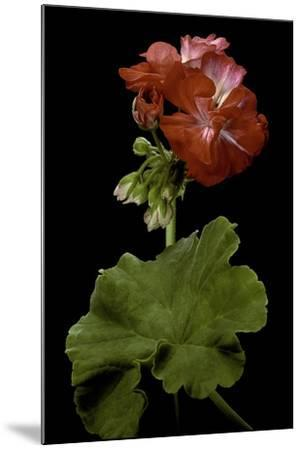 Pelargonium X Hortorum 'Corinne' (Common Geranium, Garden Geranium, Zonal Geranium)-Paul Starosta-Mounted Photographic Print