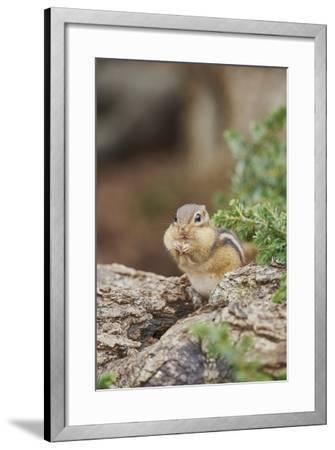 Eastern Chipmunk-Gary Carter-Framed Photographic Print