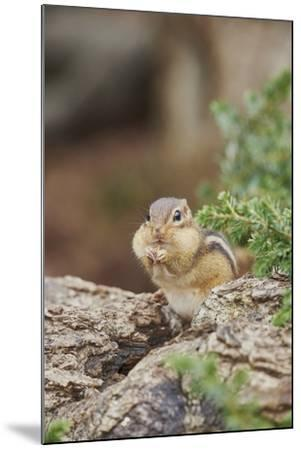 Eastern Chipmunk-Gary Carter-Mounted Photographic Print