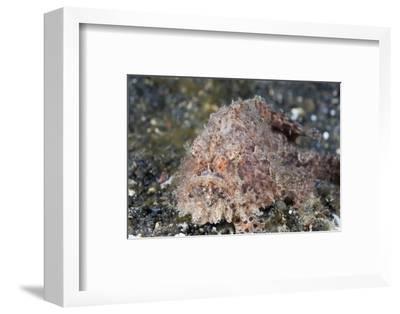 Hispid Frogfish (Antennarius Hispidus)-Reinhard Dirscherl-Framed Photographic Print