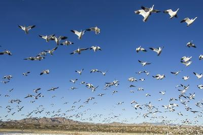 Snow Geese, Bosque Del Apache, New Mexico-Paul Souders-Framed Photographic Print