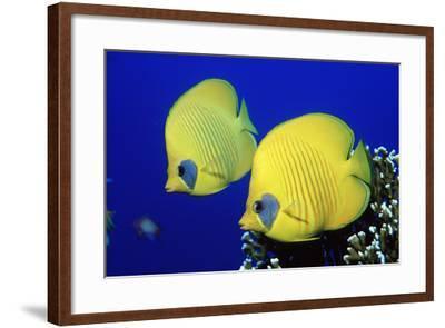 Masked Butterflyfish Egypt, Africa, Red Sea. (Chaetodon Semilarvatus)-Reinhard Dirscherl-Framed Photographic Print
