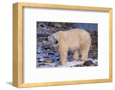 Polar Bear Standing on Rocks-DLILLC-Framed Photographic Print