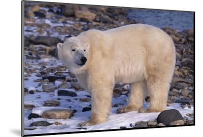 Polar Bear Standing on Rocks-DLILLC-Mounted Photographic Print