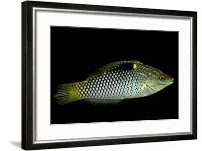 Halichoeres Hortulanus (Checkerboard Wrasse, Four-Spot Wrasse)-Paul Starosta-Framed Photographic Print