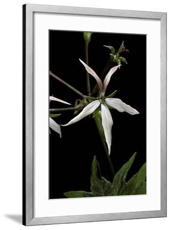 Pelargonium X Hortorum 'Bird Dancer' (Common Geranium, Garden Geranium, Zonal Geranium)-Paul Starosta-Framed Photographic Print