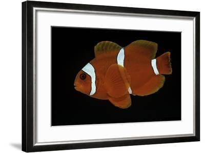 Premnas Biaculeatus (Maroon Clownfish, Spine-Cheeked Clownfish)-Paul Starosta-Framed Photographic Print