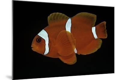 Premnas Biaculeatus (Maroon Clownfish, Spine-Cheeked Clownfish)-Paul Starosta-Mounted Photographic Print