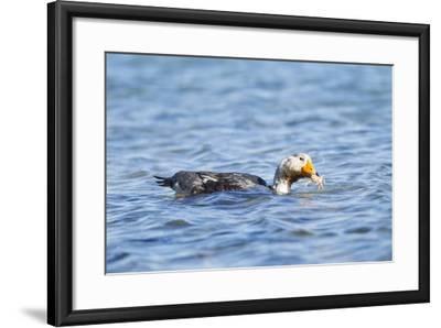 Falkland Flightless Steamer Duck-Joe McDonald-Framed Photographic Print