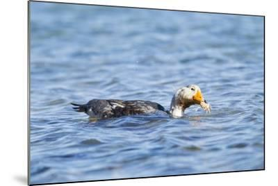 Falkland Flightless Steamer Duck-Joe McDonald-Mounted Photographic Print