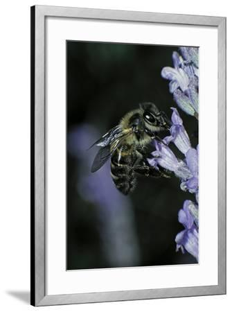 Apis Mellifera (Honey Bee) - Foraging on a Lavender Flower-Paul Starosta-Framed Photographic Print