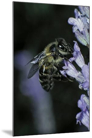 Apis Mellifera (Honey Bee) - Foraging on a Lavender Flower-Paul Starosta-Mounted Photographic Print