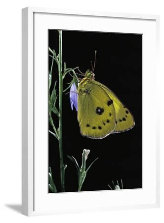 Colias Australis (Berger's Clouded Yellow Butterfly)-Paul Starosta-Framed Photographic Print