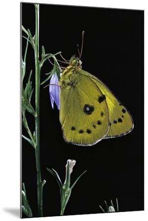 Colias Australis (Berger's Clouded Yellow Butterfly)-Paul Starosta-Mounted Photographic Print