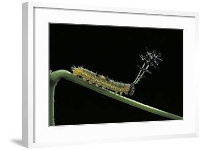Callicore Cynosura Amazona (Bd Butterfly, Cynosura Eighty-Eight) - Caterpillar with its Barded Spik-Paul Starosta-Framed Photographic Print