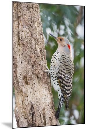 Northern Flicker-Gary Carter-Mounted Photographic Print