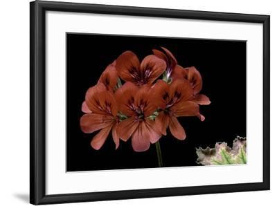Pelargonium X Unique 'Aurore Unique' (Unique Geranium)-Paul Starosta-Framed Photographic Print