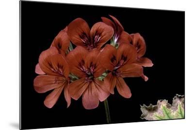 Pelargonium X Unique 'Aurore Unique' (Unique Geranium)-Paul Starosta-Mounted Photographic Print